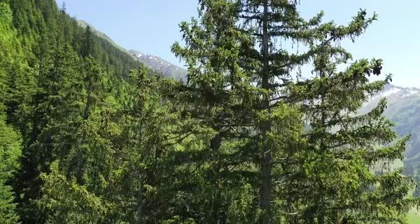 bande-annonce La Puissance de l'arbre avec Ernst Zürcher